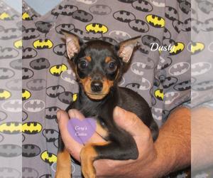 Miniature Pinscher Dog for Adoption in ELKLAND, Missouri USA