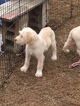 Labradoodle Puppy For Sale in NINETY SIX, SC,