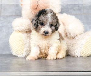 Sheepadoodle-Shetland Sheepdog Mix Puppy for sale in CLEVELAND, NC, USA