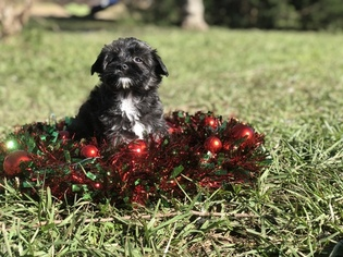 View Ad Havanese Puppy For Sale Texas Houston Usa