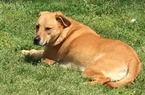 Small #2 German Shepherd Dog-Labrador Retriever Mix