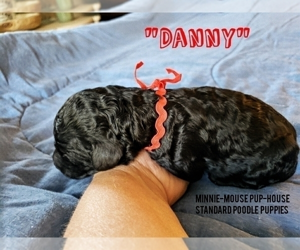 Medium Photo #3 Poodle (Standard) Puppy For Sale in DYERSBURG, TN, USA