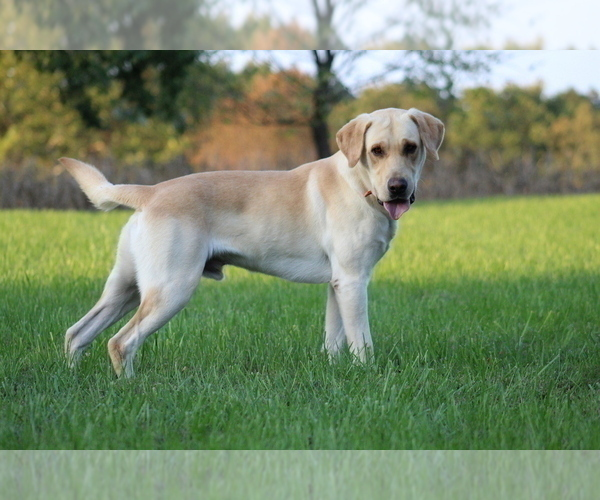 Medium Photo #1 Labrador Retriever Puppy For Sale in COTTAGE GROVE, TN, USA