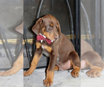 Doberman Pinscher Puppy For Sale in LIMESTONE, TN, USA