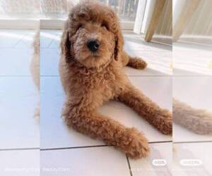 Goldendoodle Puppy for sale in BEECHHURST, NY, USA