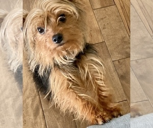 Father of the Yorkshire Terrier puppies born on 06/17/2021