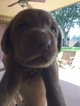 Labrador Retriever Puppy For Sale in NEDERLAND, TX,