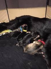 German Shepherd Dog Puppy for sale in REDDING, CA, USA