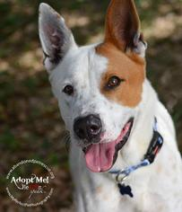 Marlin - Akita / Shepherd / Mixed Dog For Adoption