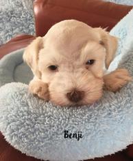 Schnauzer (Miniature) Puppy For Sale in COLORADO SPRINGS, CO, USA