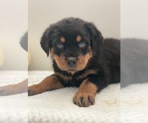 Rottweiler Puppy for sale in BEECH GROVE, IN, USA