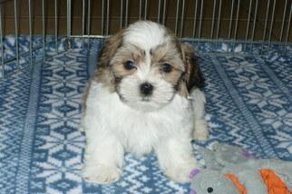 Zuchon Puppy for sale in ORO VALLEY, AZ, USA