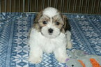 Zuchon Puppy For Sale in ORO VALLEY, AZ, USA