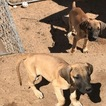 Great Dane Puppy For Sale in HESPERIA, CA,