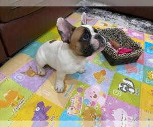 French Bulldog Puppy for Sale in HILLSBORO, Oregon USA