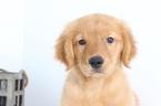 Tucker Perfect AKC Golden Retriever Puppy