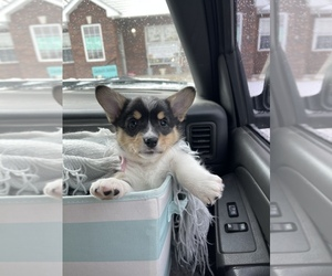 Pembroke Welsh Corgi Puppy for sale in MOSCOW MILLS, MO, USA