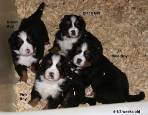 View Ad Bernese Mountain Dog Puppy For Sale Near Kentucky