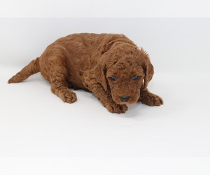 Poodle (Standard) Puppy for Sale in GLENDALE, Arizona USA