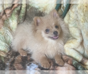 Pomeranian Puppy for Sale in HAMDEN, Connecticut USA