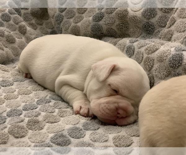 Medium Photo #9 French Bulldog Puppy For Sale in LEAWOOD, KS, USA