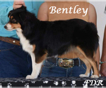Small Photo #1 Miniature Australian Shepherd Puppy For Sale in FORESTBURG, TX, USA