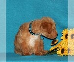 Small #3 Miniature Labradoodle