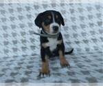 Puppy 11 Greater Swiss Mountain Dog