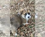 Pembroke Welsh Corgi Puppy For Sale in CASTROVILLE, TX, USA