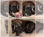 Olde English Bulldogge Puppy For Sale in PUYALLUP, WA, USA