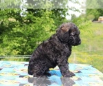 Small #28 Goldendoodle