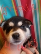 Siberian Husky Puppy For Sale in SALEM, Oregon,