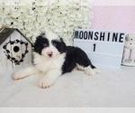 Puppy 3 Aussiedoodle Miniature