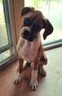 Boxer Puppy For Sale in MELVIN, MI, USA