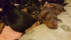 Doberman Pinscher Puppy For Sale in MONTEBELLO, CA