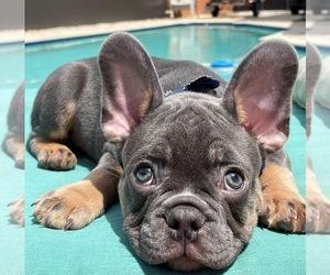 French Bulldog Puppy for sale in COCONUT GROVE, FL, USA