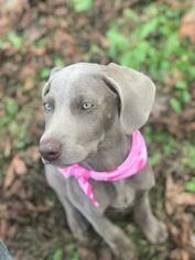 Weimaraner Puppy for sale in UNION GROVE, AL, USA