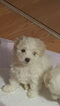 Maltese Puppy For Sale in EAST ELMHURST, NY