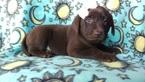 Labrador Retriever Puppy For Sale in HONEY BROOK, PA, USA