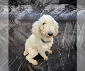 Mother of the Goldendoodle puppies born on 03/29/2021
