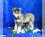 Small #6 Alaskan Klee Kai