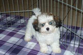 ShihPoo Puppy for sale in TUCSON, AZ, USA