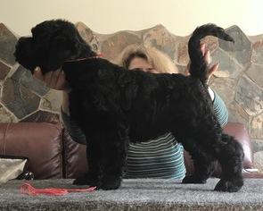 Black Russian Terrier Puppy For Sale in HAMBURG, NJ, USA