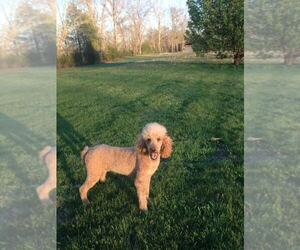 Poodle (Standard) Puppy for sale in COLUMBIA, KY, USA