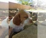 Puppy 0 Brittany