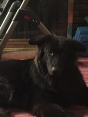 Shiloh Shepherd Dog For Adoption in SYRACUSE, NY, USA
