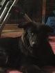 Shiloh Shepherd Dog For Adoption in SYRACUSE, NY, USA