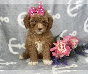 Cavapoo-Poodle (Miniature) Mix Puppy for sale in CEDAR LANE, PA, USA