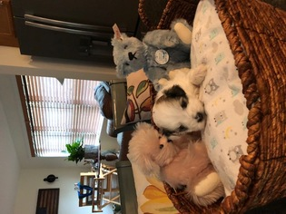 Havanese Puppy For Sale in SOMERSWORTH, NH, USA