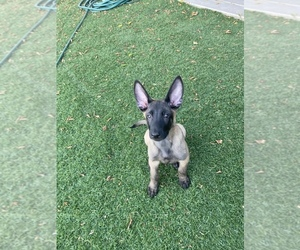 Belgian Malinois Puppy for sale in GILBERT, AZ, USA